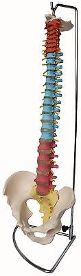 Life-Size Human Spine - Vertebral Column with Pelvis - New colour anatomy model