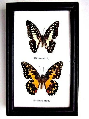 2 Real Butterflies Butterfly Taxidermy Insect Picture Frame Jay Lime
