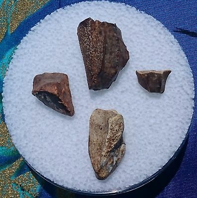 Triceratops Dinosaur Fossil Tooth, Lance Formation, Wyoming Lot Of 4 Pieces