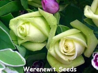 20X Rare Exotic Light Olive Green Rose Seeds,free Post,free Gift.time 2 Stratify