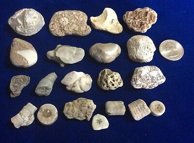 Lake Michigan Fossils Horn Coral Crinoids Brachiopods Fossil Plates. 20 Pieces