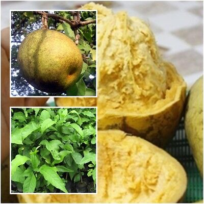 Aegle Marmelos Beal Tree Plant Fruit Tropical From Thailand Tall 15''