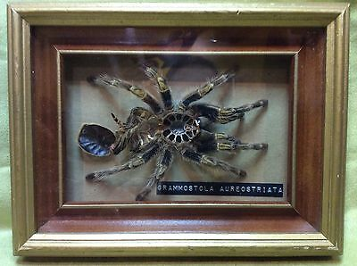 Vtg framed Chaco Golden Knee Tarantula dissected spider taxidermy bugs medical