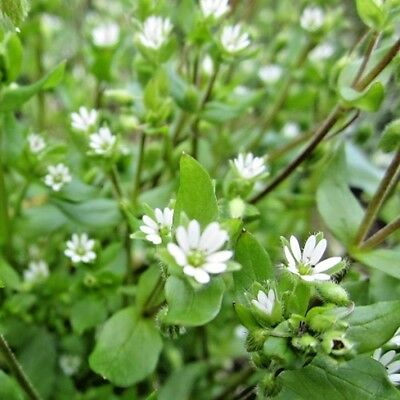Herb Chickweed Stellaria Media - 1000 seeds