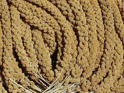 25 lb Bulk Millet Spray Wisconsin Grown finest quality Bird Owners can expect