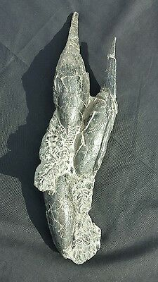 (3) Rare Fossil Devonian Placaderm Pteraspis Jawless Fish Skull Skeleton Matrix