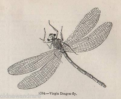 Genuine 1845 Print Common Virgin Dragonfly Dragon Fly Insect Summer Pond Garden