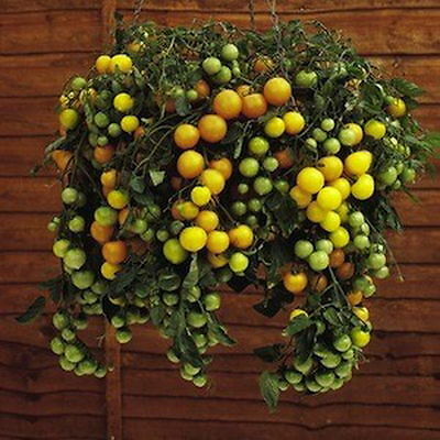 Tomato Tumbling Tom Yellow (25 Seeds)