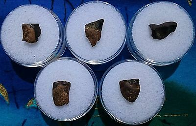 Triceratops Dinosaur Fossil Tooth, Hell Creek Formation, Montana Lot Of 5