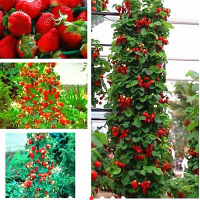 100pcs-Red-Strawberry-Seeds-Climbing-Home-Garden-Fruit-Plant