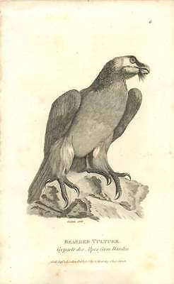 1808 Bearded Vulture From Dandin Engraved Bird Plate - Shaw