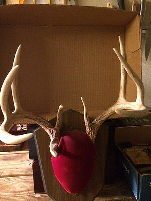 """9 Point Whitetail Deer Antlers On Plaque  13"""" Wide--12"""" Tall--6 1/2""""  Long Tine"""