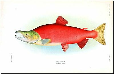 """Vintage Male Red Salmon Fish Illustration Canvas Print Poster  8X10"""""""