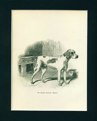 ANTIQUE Dog Print 1878 English Pointer Dog named MAJOR