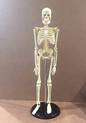Human Skeleton Model Anatomical Anatomy Medical Stand New Quality Teaching 002