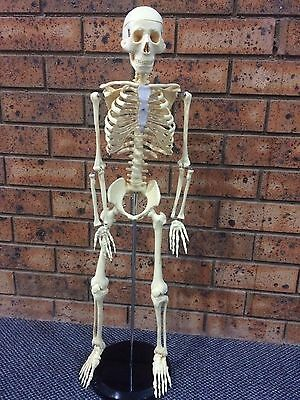 Human Skeleton Model Anatomical Anatomy Medical Stand New Quality Teaching 003