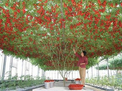 Giant Tree Tomato - Perennial (10 Seeds)