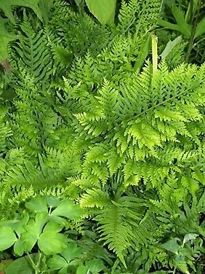POLYPODIUM 'WHITLEY GIANT' Evergreen fern for shade. Easy to grow PLUG PLANT