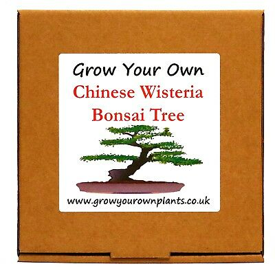 Grow Your Own Chinese Wisteria Bonsai Tree Kit - Unusual Gardening Gift