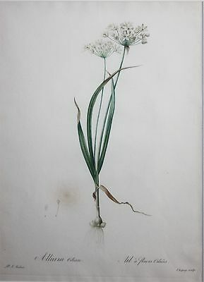 PIERRE JOSEPH REDOUTE-Original Antique LIM.ED Botanical Etching- Allium Ciliare