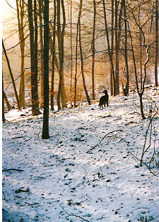 Irish Setter in the Snow Christmas Cards - Pack of 10