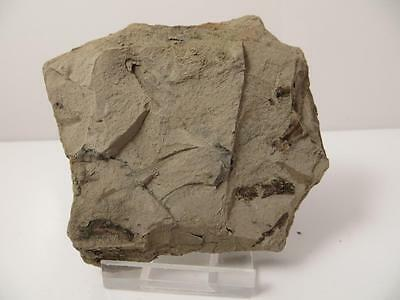 S.V.F - UK Eocene Fish - Diplomystus - Isle fo Wight
