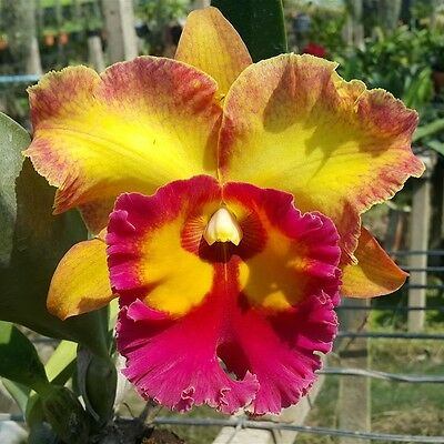 Cattleya Orchid Hybrid Jomthong fancy Blooming Size From Thailand