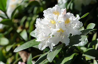 Rhododendron 'Cunningham's White' 30-40cm Tall In 5L Pot, Stunning White Flowers