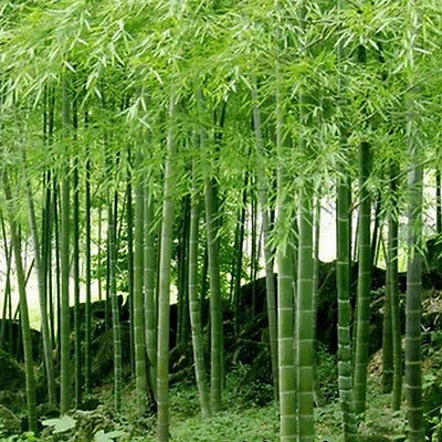 100Pcs Seeds Phyllostachys Pubescens Moso-Bamboo Seeds Garden Plants DIY