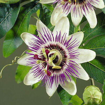 Passiflora caerulea (Blue Passion Flower) climbing plant 3L 1.4M tall
