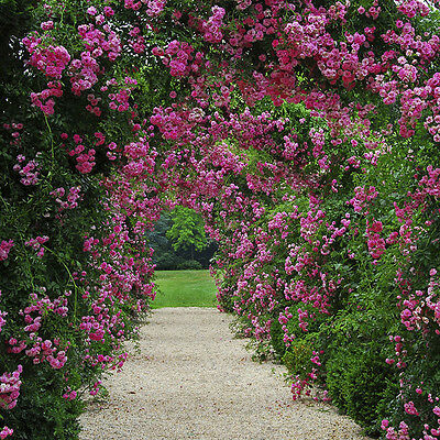 Pink & Red Climbing Roses in 3L pots with Decorative Garden Arch