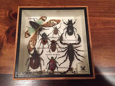 Real Giant Scorpion And Mix Insect Taxidermy In Boxed Display