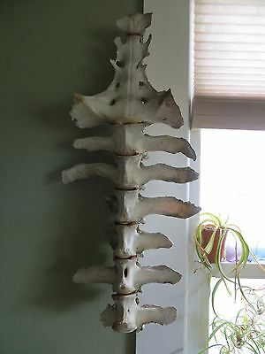 Large Vintage Taxidermy Pony Spine, Veterinary