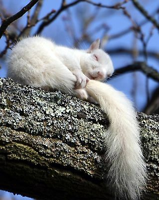 Sleeping White Squirrel / Squirrels 8 x 10 / 8x10 GLOSSY Photo Picture Image #24