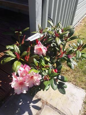 Rhododendron 'Virginia Richards' 40-60cm Tall In 5L Pot, Stunning Flowers