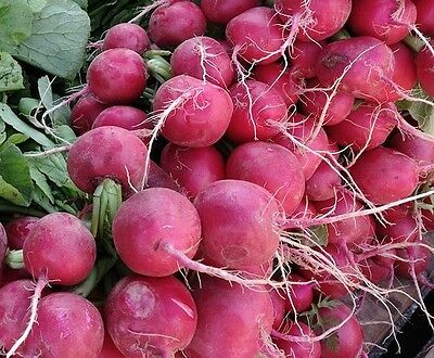 TURNIP 'Hidabeni' 150 seeds JAPANESE winter vegetable garden EASY TO GROW red