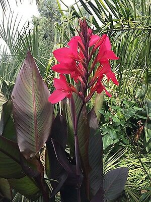 canna lily black leaved cerise