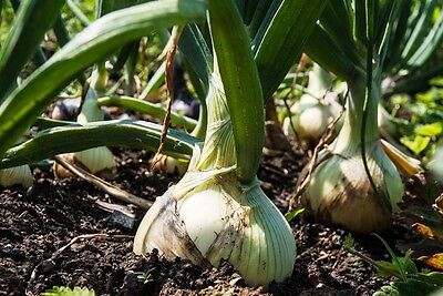 ONION 'Giant' 100+ seeds vegetable garden HEIRLOOM winter garden Alisa craig