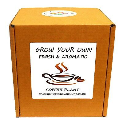 Grow Your Own Arabica Coffee - Premium Plant Kit - Birthday or Christmas Gift