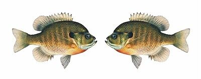 2 Bluegill Sunfish Decals Stickers 1 facing Right 1 facing Left Panfish Sunny
