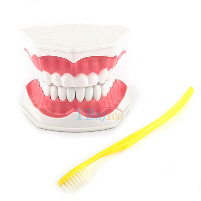 Dental 28 Teeth Teaching Study Typodont Demonstration Model Large + Toothbrush
