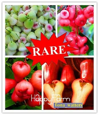 100pcs HOT RARE Rose Apple seeds Sweet fruit seeds, very delicious, easy grow
