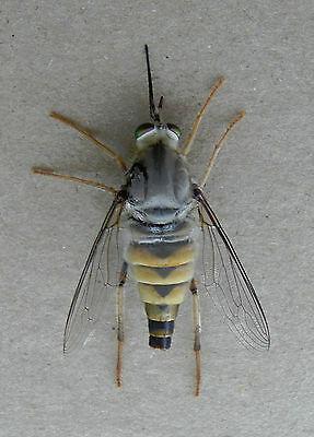 Rhaphiomidas Sp. Lg.female 28Mm. Unmounted,with Data & Empty Pupa Skin ! Diptera