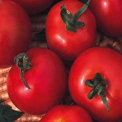 Tomato Moneymaker Appx 240 Vegetable Seeds Outdoor Variety