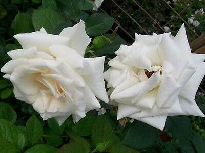 Pascali Creamy White Hybrid Tea Rose 2 Gal. Shrub Plants Shrubs Plant Roses NOW!