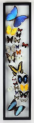 "24 Real butterflies, mounted in wood frame 7.5"" x 32.5"" inches. BEAUTIFUL."