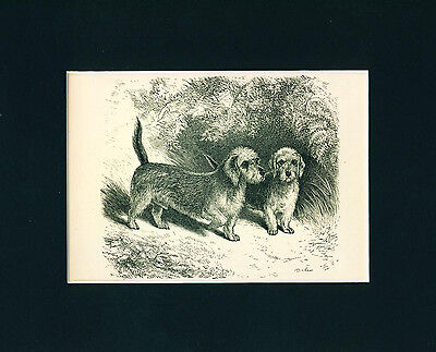 Dog Print 1878 Dandie Dinmont Terrier Dogs ANTIQUE
