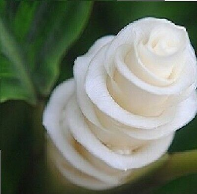 25 X Japanese Roses Flowers Seeds White Seeds Plant Rare Flowers Roses #1