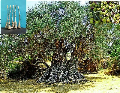 """5 Green Olive """"Nabali Mohassan"""" Tree Cutting"""