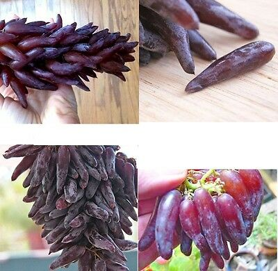 15x Pointed Finger Grapes New Seeds Plant Rare Fruit New Seed Garden #208